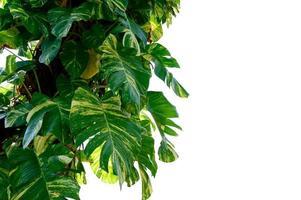 pothos dorado aislar hoja de betel manchado fondo blanco foto