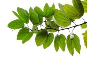 hojas de chongkho aislar ramo decorar el diseño foto
