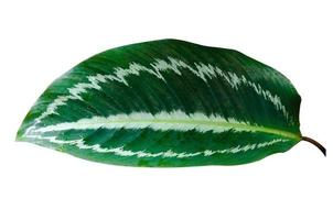 hojas calathea ornata alfiler raya fondo blanco aislar foto