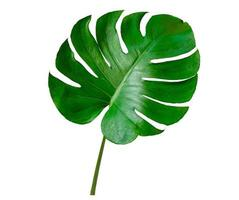 hojas de monstera hojas con aislar sobre fondo blanco hojas en blanco foto
