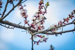 ramas florecientes de un albaricoquero foto