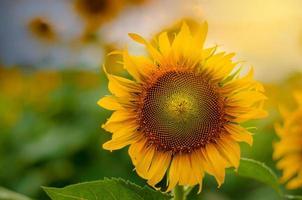 Girasoles en flor y luz por la mañana. foto
