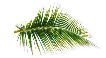 hojas de coco aislado fondo blanco diseño de verano foto