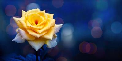 Yellow rose light Bokeh blue background Valentines Day photo