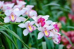Cymbidium sp flores de orquídeas rosadas y blancas foto