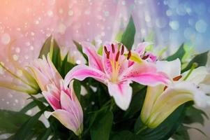 lirio rosa en el jardín y color de tono rosa, flores de lirio someras dof natural foto