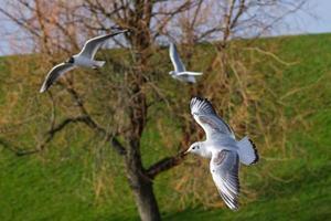 Blackheaded Gull Chroicocephalus ridibundus Belfast Waterworks Northern Ireland UK photo