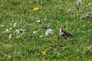 European Goldfinch Carduelis carduelis Victoria Park Northern Ireland UK photo