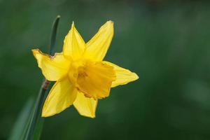Daffodil Botanical Garden Belfast Northern Ireland UK photo