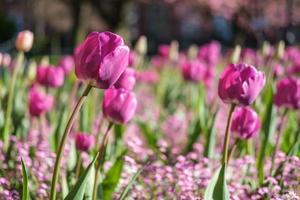 Jardín tulip tulipa gesneriana Queens University Belfast, Irlanda del Norte, reino unido foto