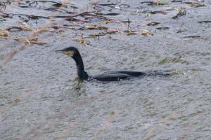 Great Cormorant Phalacrocorax carbo Belfast Waterworks Northern Ireland UK photo