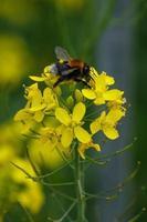 Tree Bumble Bee Bombus hypnorum Lagan River Belfast Northern Ireland UK photo