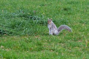 Eastern Gray Squirrel Sciurus carolinensis Botanical Garden Belfast Northern Ireland UK photo
