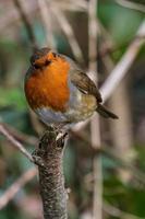 European Robin Erithacus rubecula Lagan River Belfast Northern Ireland UK photo
