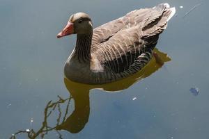 Greylag Goose Anser anser Victoria Park Belfast Northern Ireland UK photo