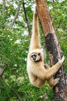 Gibbon hylobates lar trepar árbol en el bosque, chiangrai, Tailandia foto