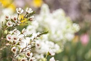 Arbusto en flor de erica con pequeñas flores en el jardín. tiempo de primavera foto