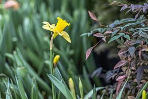 narciso amarillo en el jardín. primavera. Flores floreciendo. foto