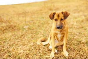 triste cachorro marrón colgó las orejas. foto
