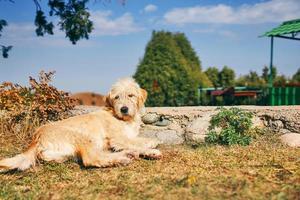 cachorro amarillo está acostado en el césped frente a la casa. foto