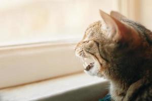 gatito atigrado bosteza. foto