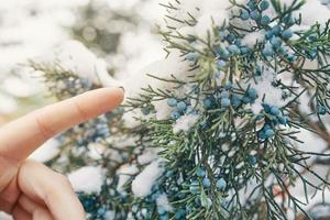el dedo de la mujer alcanza las bayas de enebro. foto