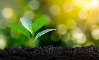 Planting seedlings young plant in the morning light on nature background photo