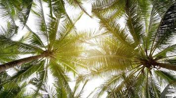 cocotiers sur les rives du soleil d'or video