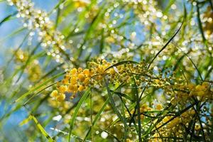 Blossoming of mimosa tree, Acacia pycnantha,  golden wattle close up in spring, bright yellow flowers, coojong, golden wreath wattle, orange wattle, blue-leafed wattle, acacia saligna photo