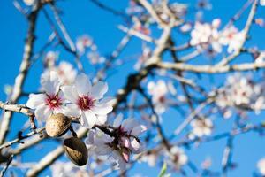 Las flores de almendro con ramas y nueces de almendra de cerca, fondo borroso foto