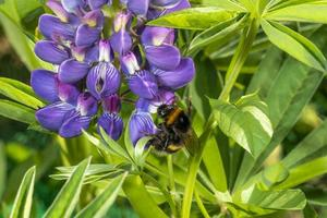 Bumblebee sits on a large blue lupine flower against a green background photo