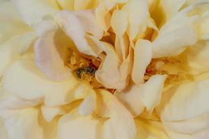 pequeña abeja silvestre se sienta en un gran pétalo de rosa amarillo anaranjado foto