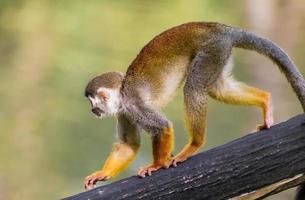 Squirrel monkey on log photo