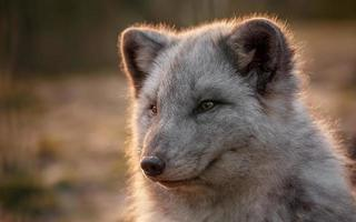 retrato de zorro ártico foto