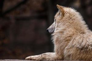 retrato de lobo ártico foto