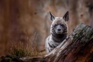 Striped hyena behind stump photo
