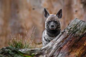 Portrait of Striped hyena photo