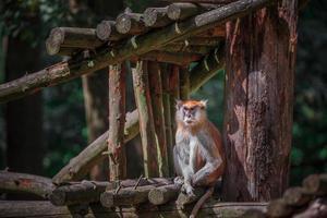 Patas monkey in zoo photo