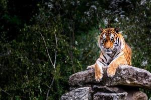 Portrait of Tiger photo