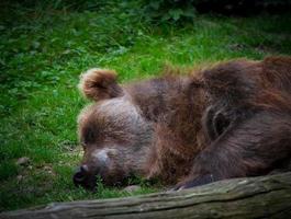 Sleeping bear in zoo photo