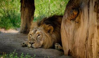 Lion is sleeping in shelter photo