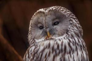 Portrait of Ural owl photo