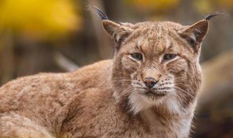 Portrait of Eurasian lynx photo