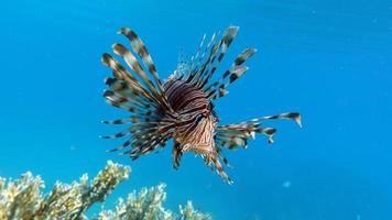 Lion Fish in the Red Sea. photo