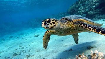 Sea turtles . Great Reef Turtle .Bissa. photo