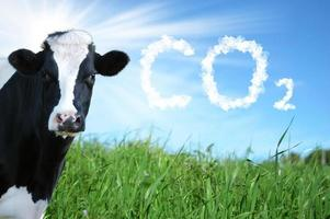 Cows breeding and CO2 emission photo