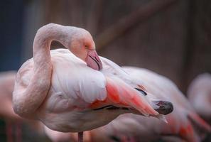 Greater flamingo sidelook photo