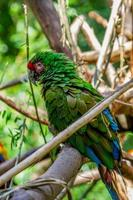 Mexican Military Macaw photo