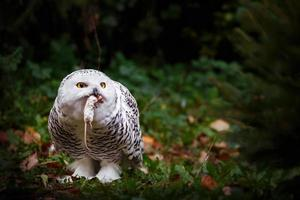 Snowy owl hunted mouse photo