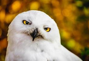 Portrait of Snowy owl photo